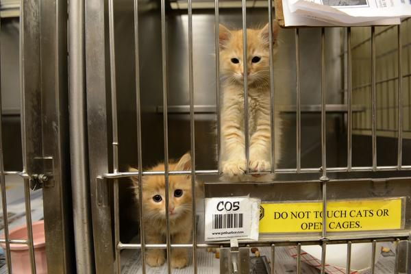 Kittens await adoption at Garland Animal Services in this file photo.