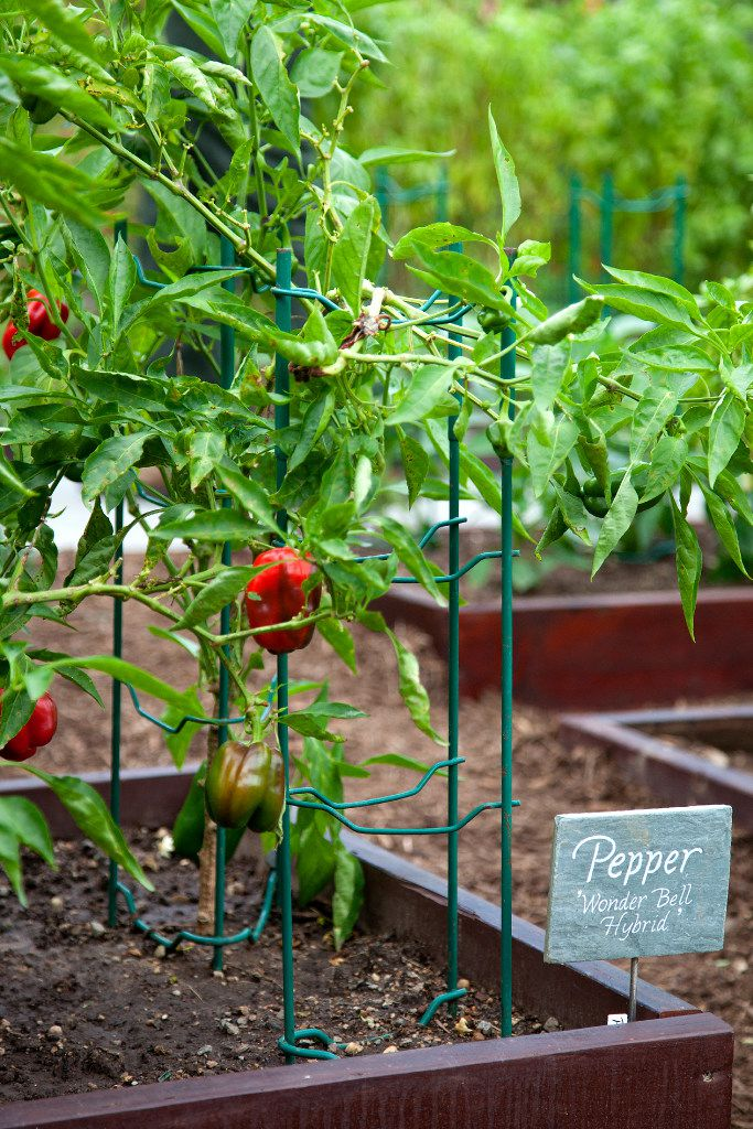 A bell pepper plant bears fruit at the White House Kitchen Garden.