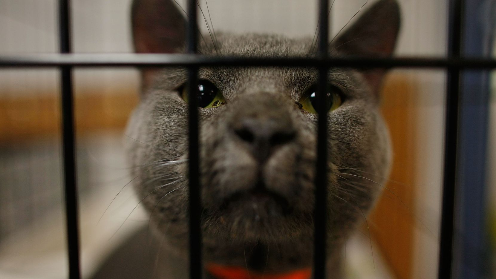 A cat sits in a cage after being dropped off at an animal shelter .