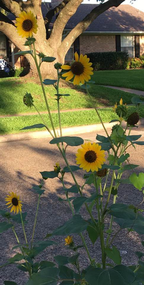 Lessons from sunflowers: Look toward the sky for answers.