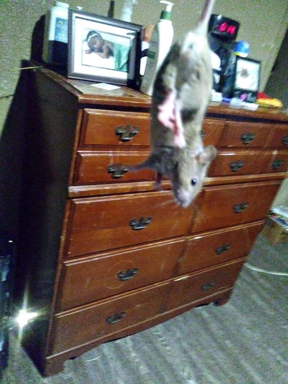 One of the rats Courtney Waweru said she caught in her Holmes Street apartment. Tre Black said they are trying to get rid of the rodents.
