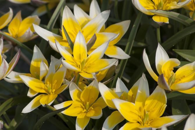 A stellar perennializer when planted in full sun in well-drained soil, Tuilipa tarda is a multi-flowering tulip with bright yellow star-shaped flowers, edged in white. 5 inches tall, blooms mid-spring, native to the Tien Shan Mountains bordering Kazakhstan, Kyrgyzstan and China.