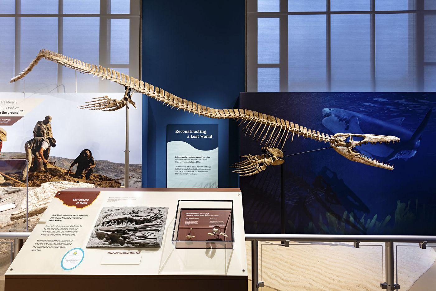 A model of Prognathodon kianda, (P.kianda) a large mosasaur (cast), that lived 72 million years ago, Bentiaba, Angola.