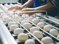 Incluso un pequeño cambio en la producción puede afectar el precio de huevos y pollos en la industria avícola.