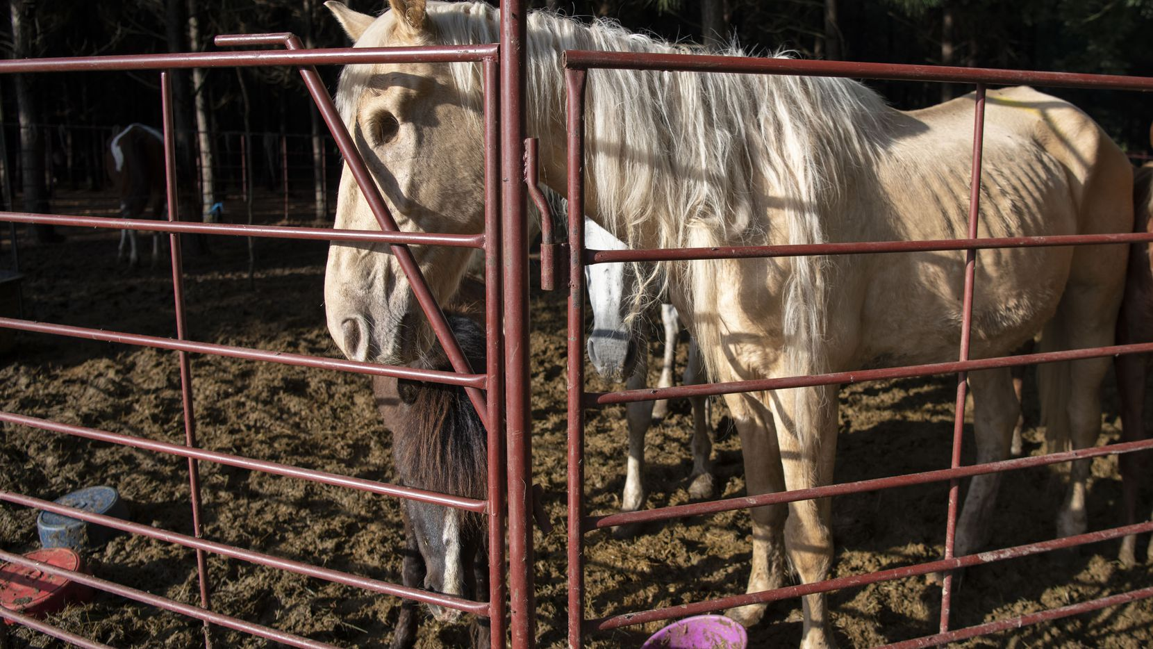 The Humane Society of the United States, with help from Safe Haven Equine Rescue and Retirement Home, assisted the Camp County Sheriff's Office with the rescue of more than 150 horses from an alleged cruelty situation in East Texas on Thursday.