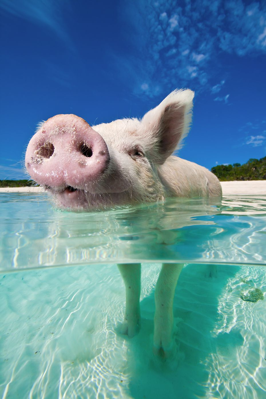 The swimming pigs actually prefer to wade.