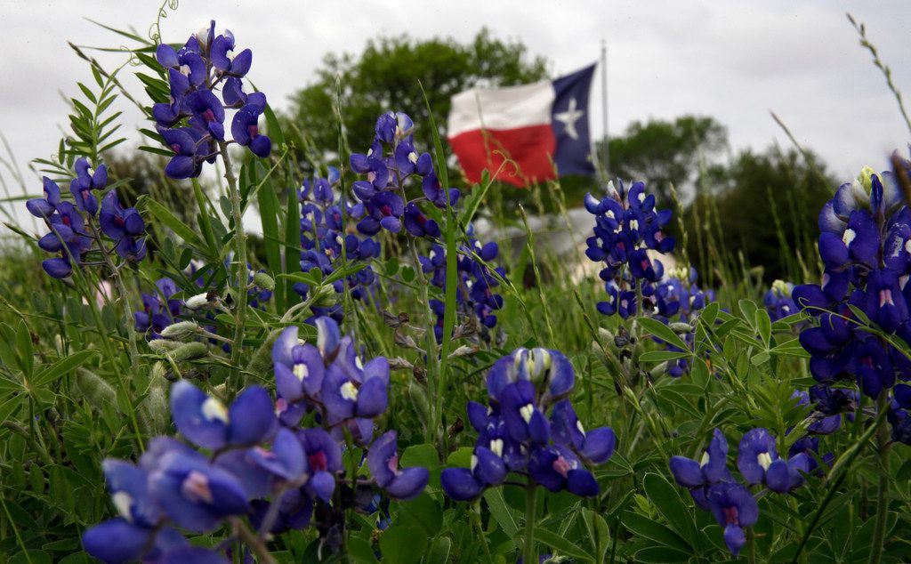 In this March 19, 2016, file photo, the Texas flag flies near a field of bluebonnets near Navasota.