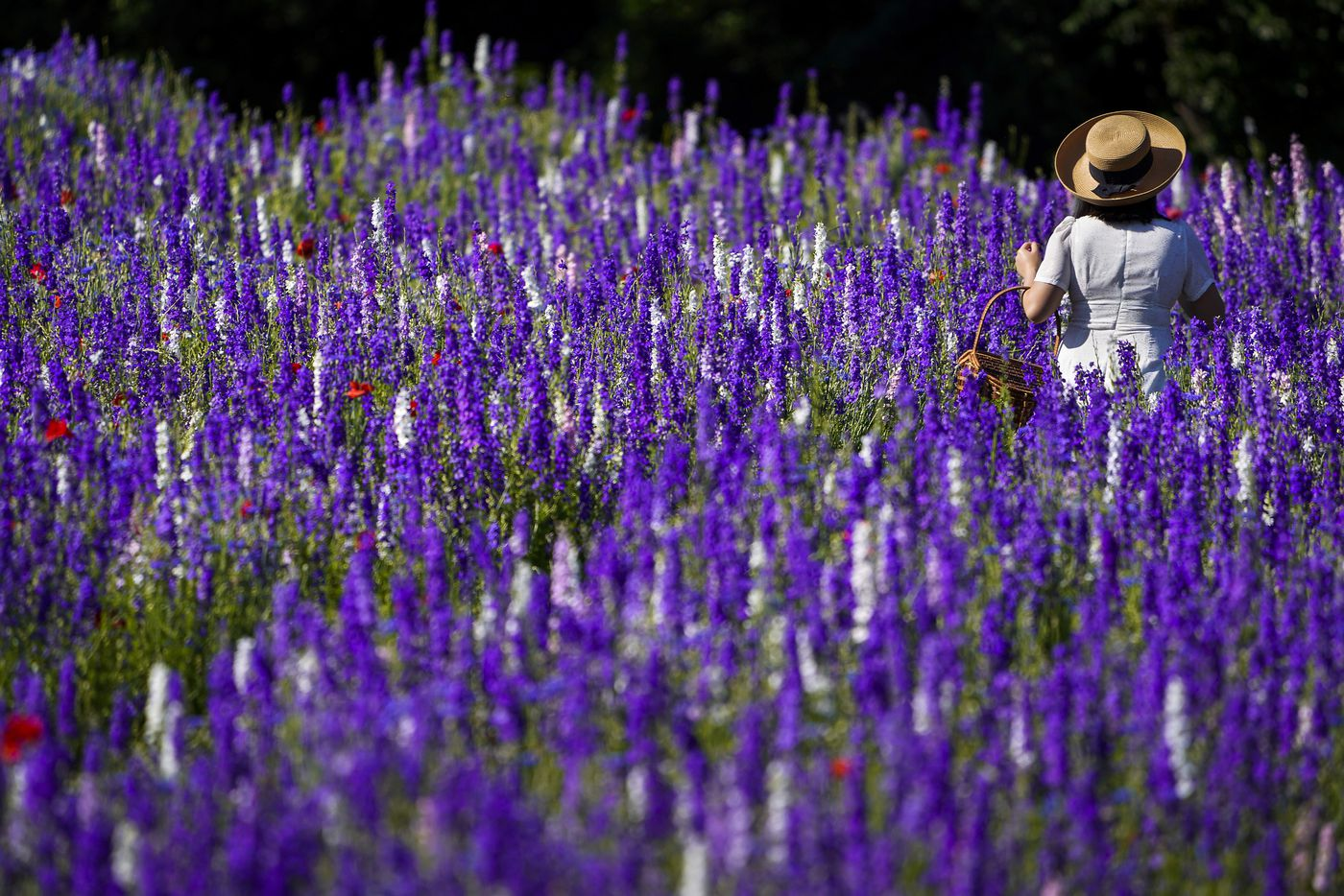 Phuong Vu walks through a field of wildflowers at Prairie Creek Park on Wednesday, May 6, 2020, in Richardson.