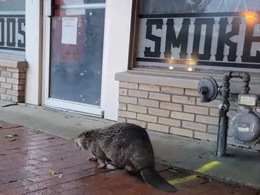 A beaver was spotted walking through the arts district in downtown Plano after heavy rain passed through the area.