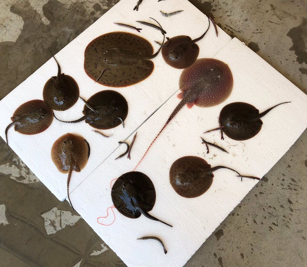 The person, whose identity has not been released, had freshwater stingrays and boulengerella sent to the airport and was planning to bring them back to Kansas in a vehicle, according to the Texas Game Warden.