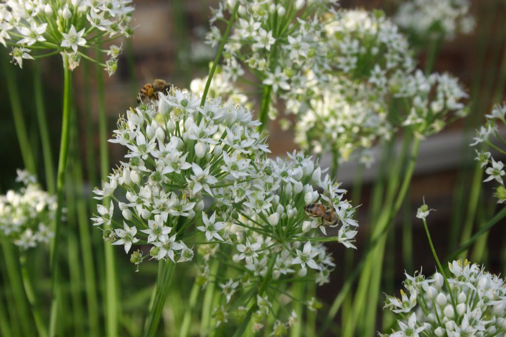 In late summer, garlic chives produce tall white flower heads that are enjoyed by bees and butterflies.