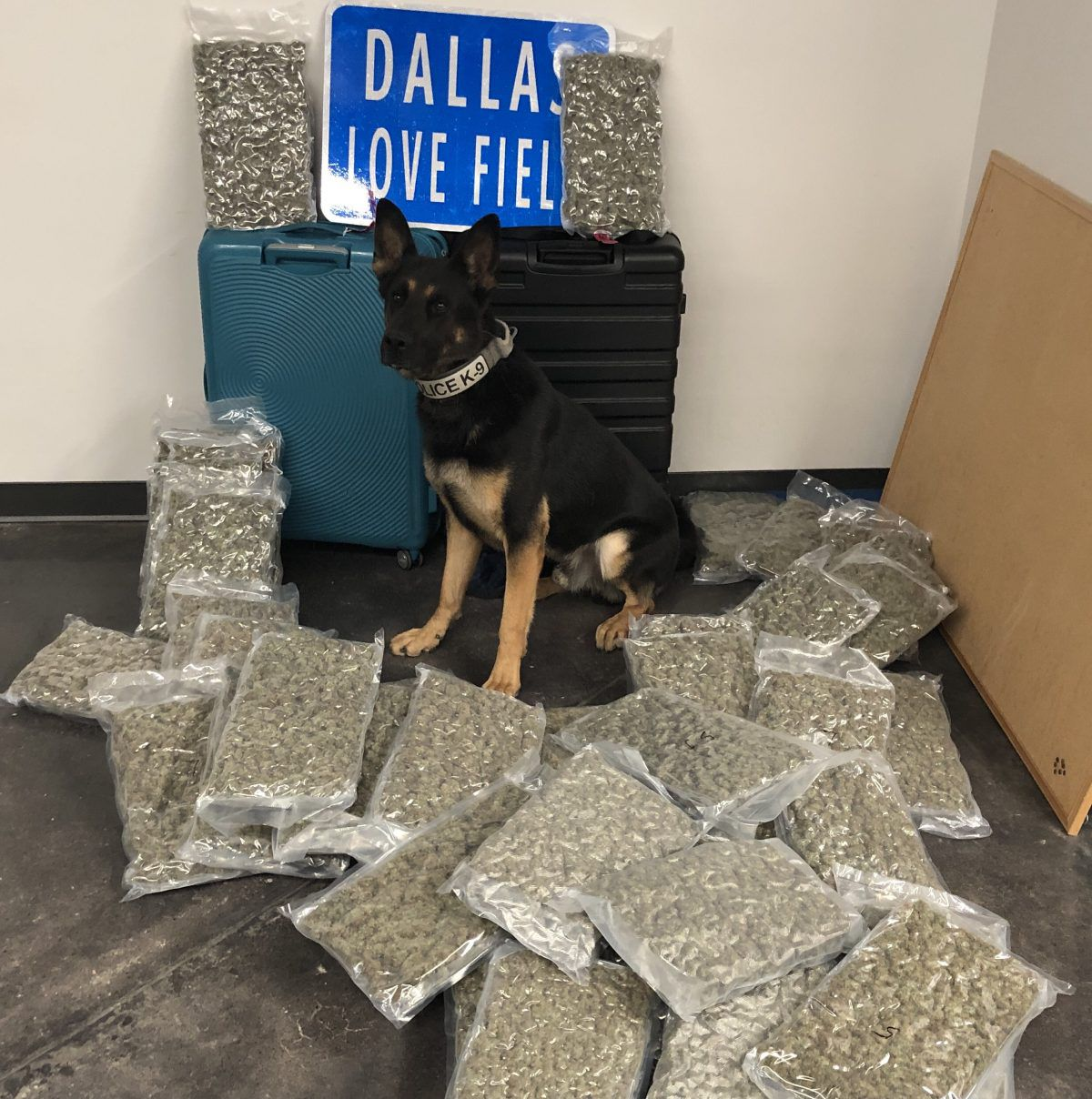 Canine Ballentine alerted police to suspicious luggage that contained 42 pounds of marijuana at Dallas Love Field on Saturday.