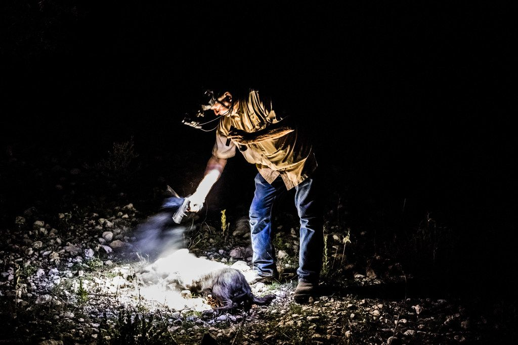 Larry Hromadka, a hunting guide, fires his pistol to end the suffering of a feral hog shot and wounded during a night boar hunt at the Ox Ranch in Uvalde, Texas, Aug. 17, 2017.