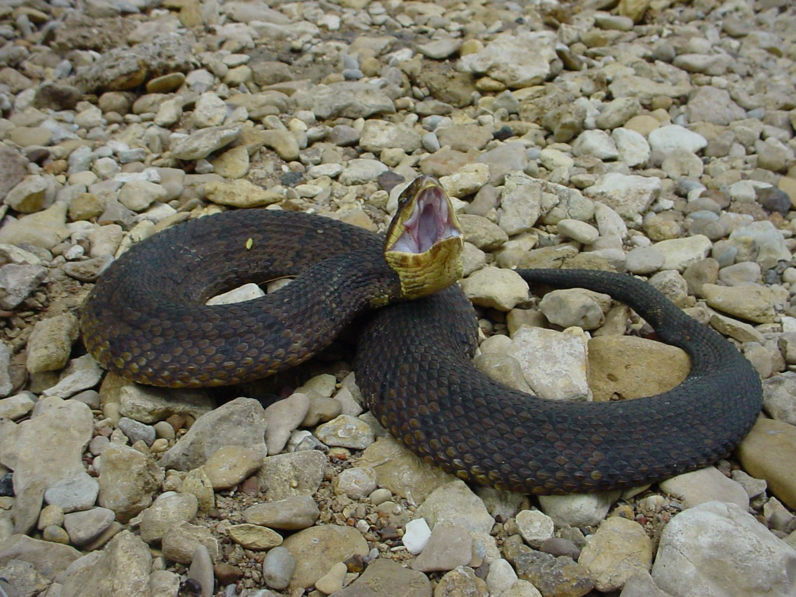 The cottonmouth, or water moccasin, is one of four types of venomous snakes found in North Texas. They can be big and bulky, and they have a darker pattern than the copperhead, to which they are closely related.  They often send a warning by opening their mouths, revealing the cottony lining inside.