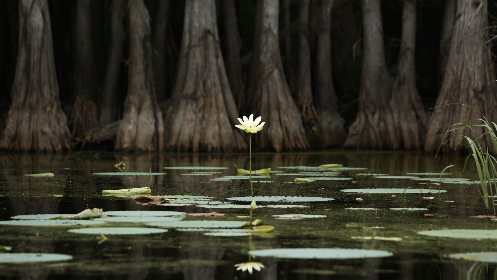 Flora is everywhere on Caddo Lake in Uncertain, Texas Tuesday June 26, 2018.