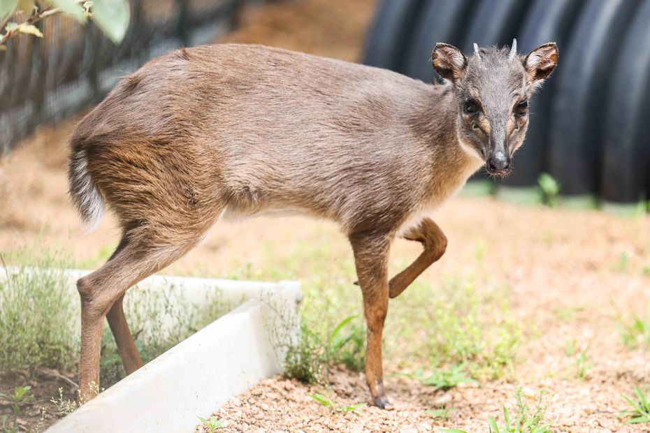 Daisy, a blue duiker, looks around her run at the Dallas Zoo on Friday, June 11, 2021.
