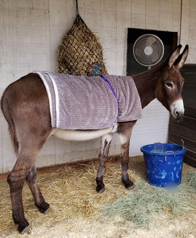 A donkey wrapped in a warm blanket donated to the Loving Long Ears Donkey Therapy & Sanctuary in Southlake.