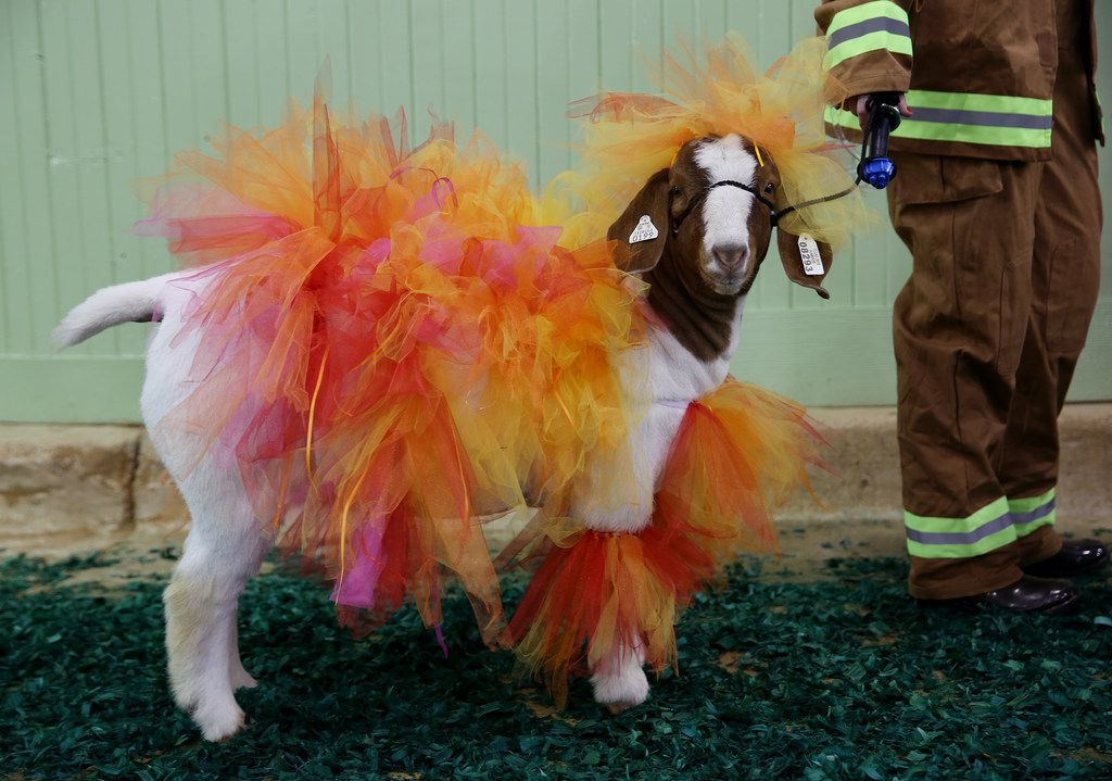 The goat of Ashlynn Reed, of Tomball, Texas, who dressed as a firefighter, waits with Reed during the goat costume contest at the Fort Worth Stock Show and Rodeo in Fort Worth, Texas Saturday January 13, 2018. The Stock Show and Rodeo runs from January 12th to February 3rd. (Andy Jacobsohn/The Dallas Morning News)