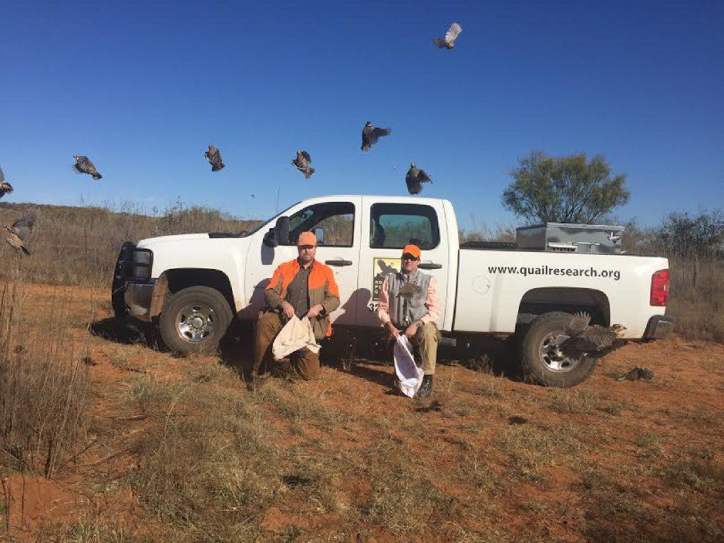 Researchers release quail that have been captured and banded at the Rolling Plains Quail Research Ranch near Roby. The 4,700-acre ranch is carefully managed to benefit quail.