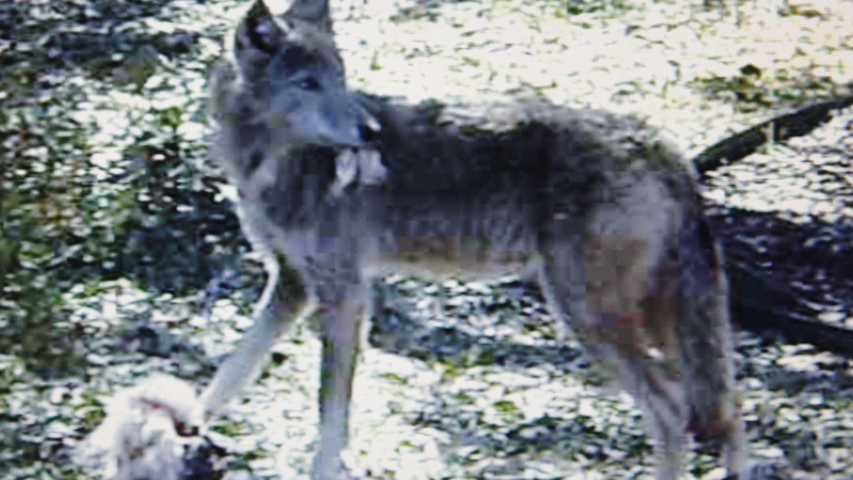 A photo from a video Logan Gray of Rowlett filmed of a coyote feeding in his neighbor's yard in Rowlett on Feb. 25, 2010.