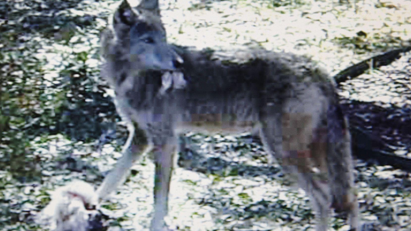 Captura de video de Logan Gray de Rowlett, que vio un coyote en la yarda de su vecino en febrero.