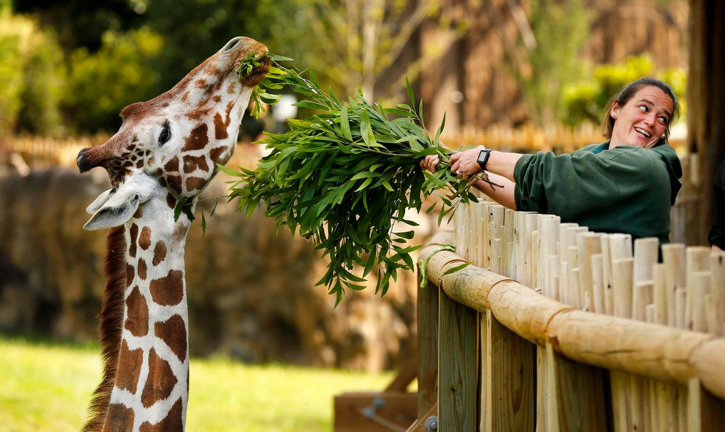 Supervisor Shauna Cannon feeds Malaika a giraffe in the 10-acre African Savanna exhibit at the Fort Worth Zoo in April, 2018.