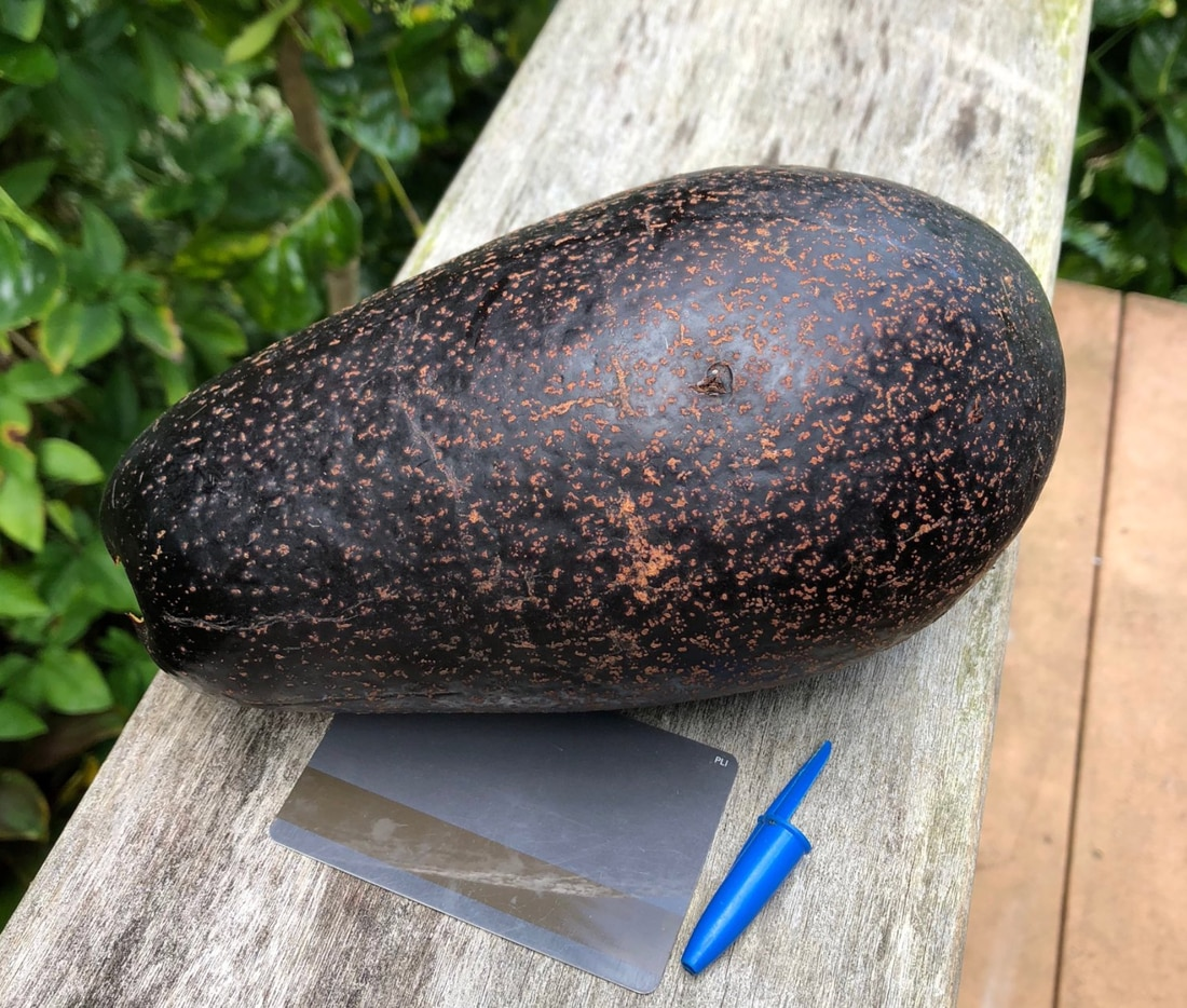 A freshly picked avocado. Kevin uses a hotel room key and a pen cap to compare its size.