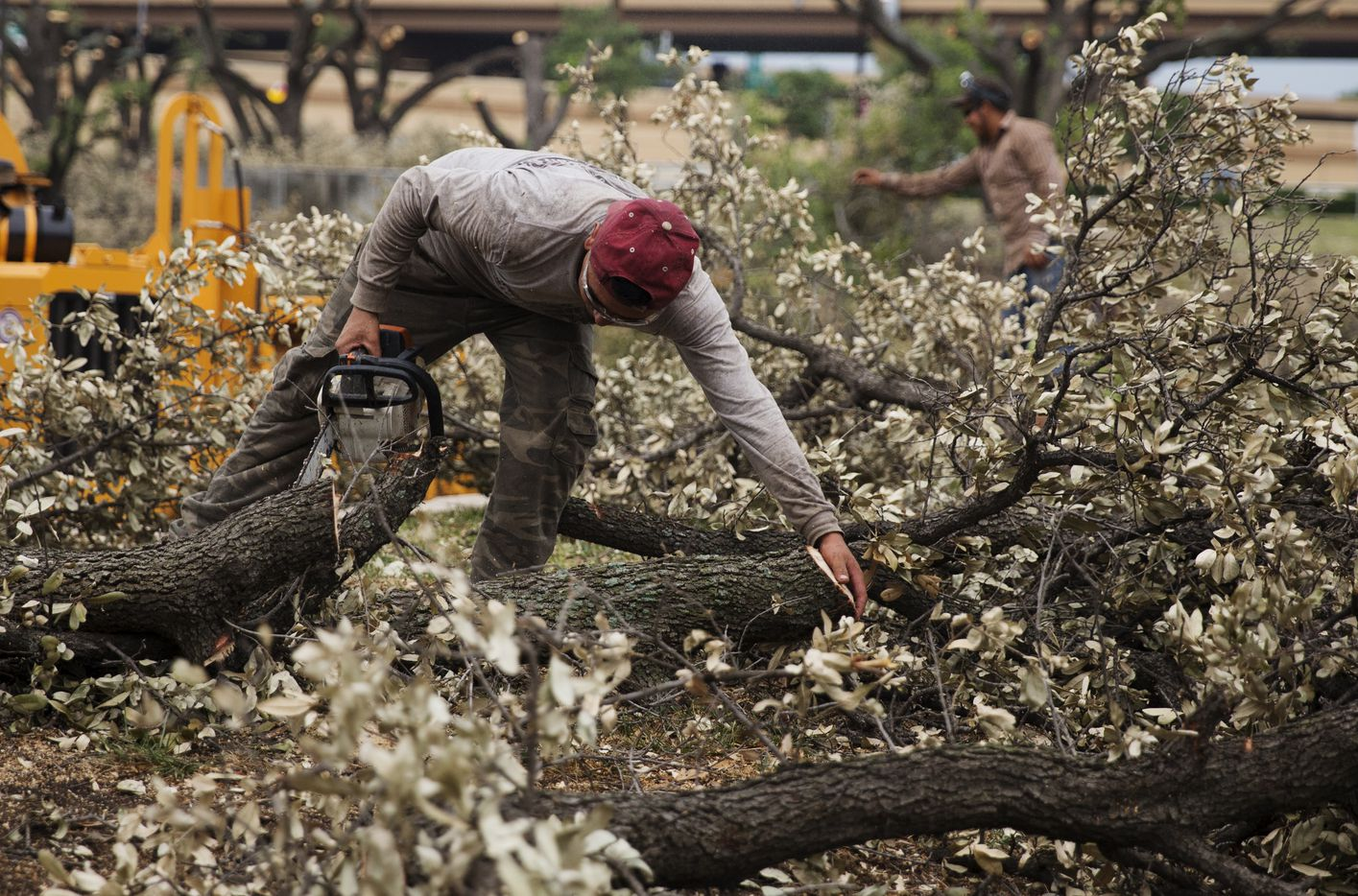 Workers remove the oak trees that line Forest Lane on Friday June 2, 2017. (Tailyr Irvine/The Dallas Morning News)