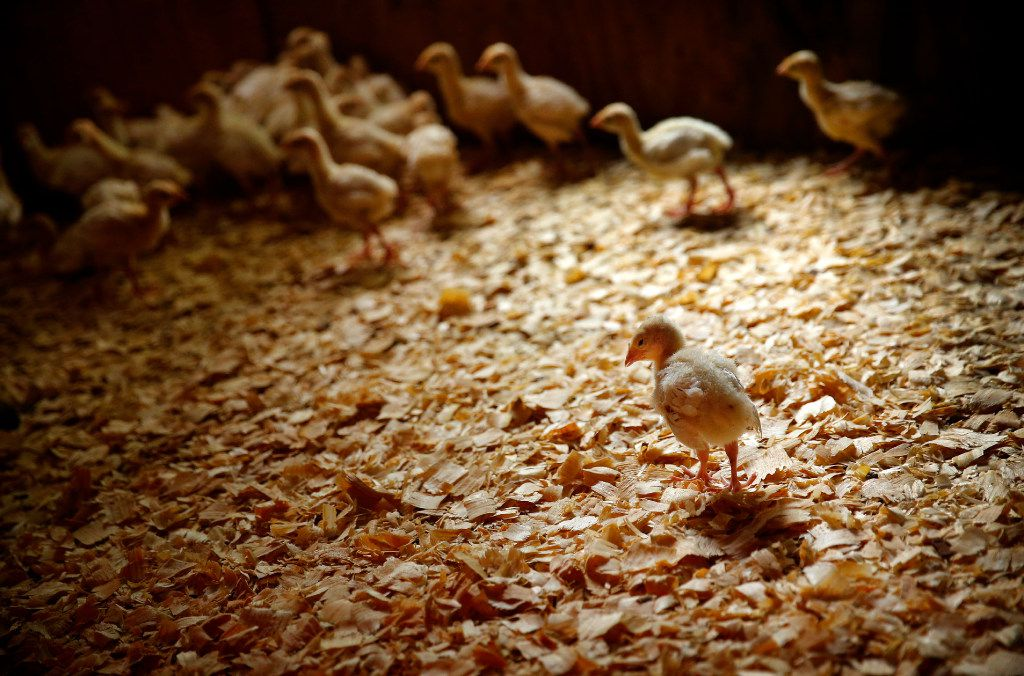Week-old turkey poults clamor together to keep warm in a heated barn on the Bois d'Arc farm.