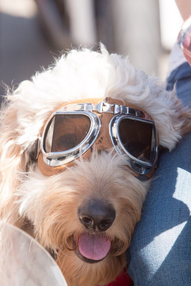 Nelson the goldendoodle has his own sidecar to ride in at the Rockers vs Mods at Sundown at Granada on March 28, 2015