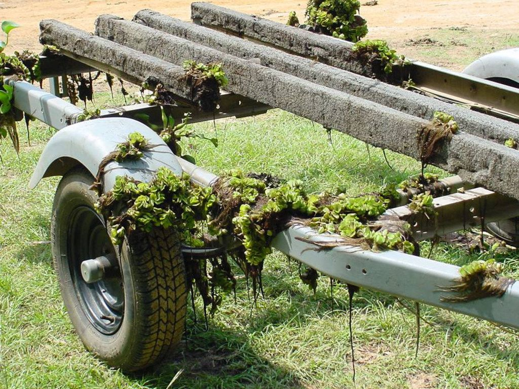 Experts say one of the primary ways giant salvinia and other invasive plants are transported from lake to lake is on boat trailers.