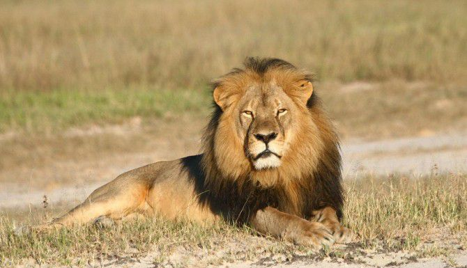 Cecil, un león que vivía en una reserva natural fue cazado por un dentista estadounidense. (AP/WILD CONSERVATION RESEARCH)