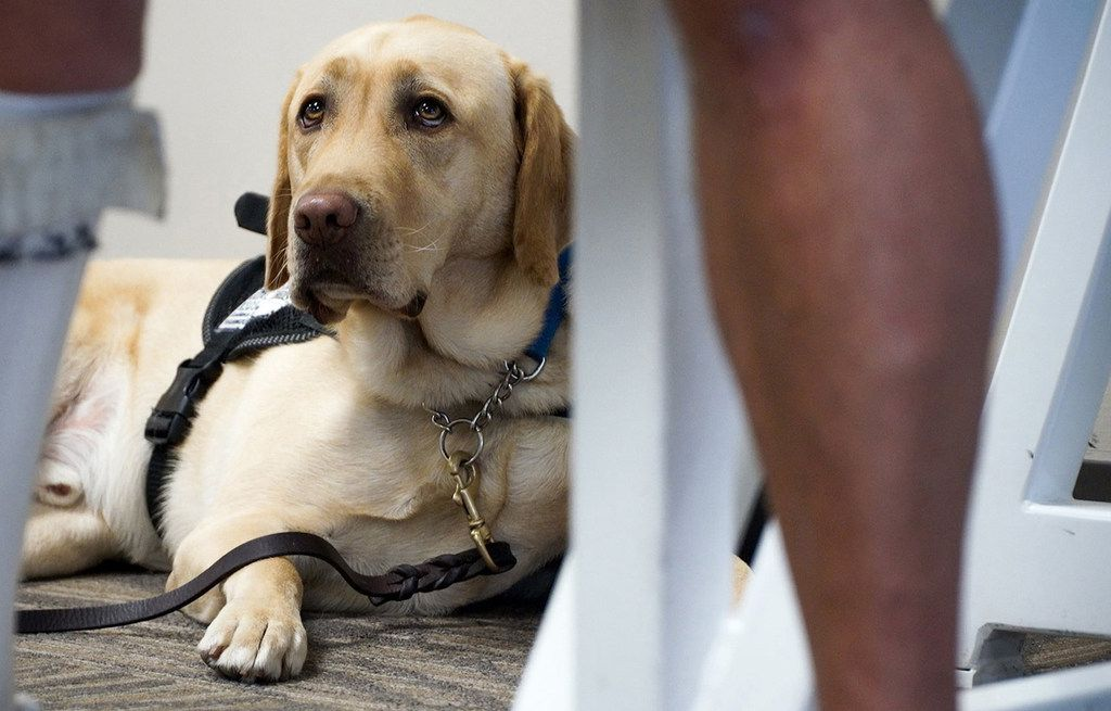 United Airlines has announced new requirements for passengers who want to fly with a service animal or emotional support animal. (Shelly Yang/Kansas City Star/TNS)