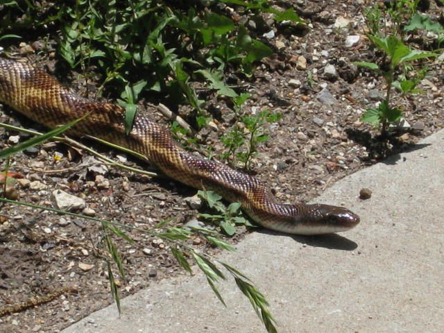 Nonvenomous snakes are generally longer and skinnier than venomous snakes, with narrow heads.
