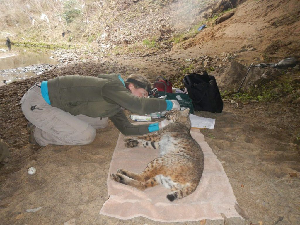 Utah State graduate student Julie Golla examines one of 10 bobcats trapped and equipped with GPS collars for an urban bobcat study. The collars will record waypoints for about a year. Overlaid on map, the data will reveal how these animals avoid traffic and move through fragmented habitat.