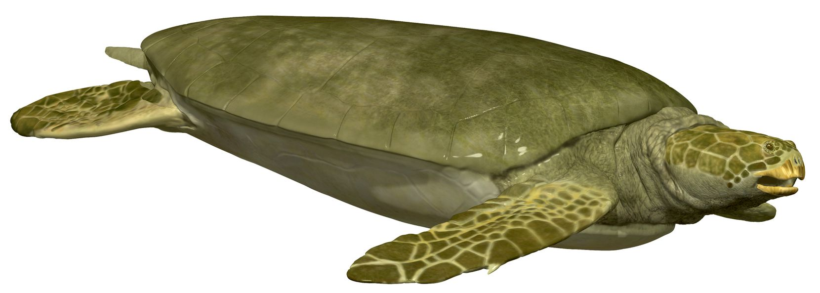 An artist'€™s rendering of what the ancient sea turtle Angolachelys mbaxi might have looked like when it was alive. Sea turtles have been part of ocean ecosystems for over 150 million years and still swim along Angola'€™s coast today. This extinct species, Angolachelys mbaxi, is the South Atlantic's oldest species of sea turtle. Like some modern sea turtles, it used the flat surface of its strong jaws to crush hard-shelled prey.