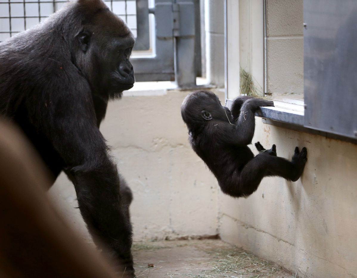 Hope, a western lowland gorilla, watches her daughter 7-month-old Saambili climb in a heated behind-the-scenes gorilla building at the Dallas Zoo.