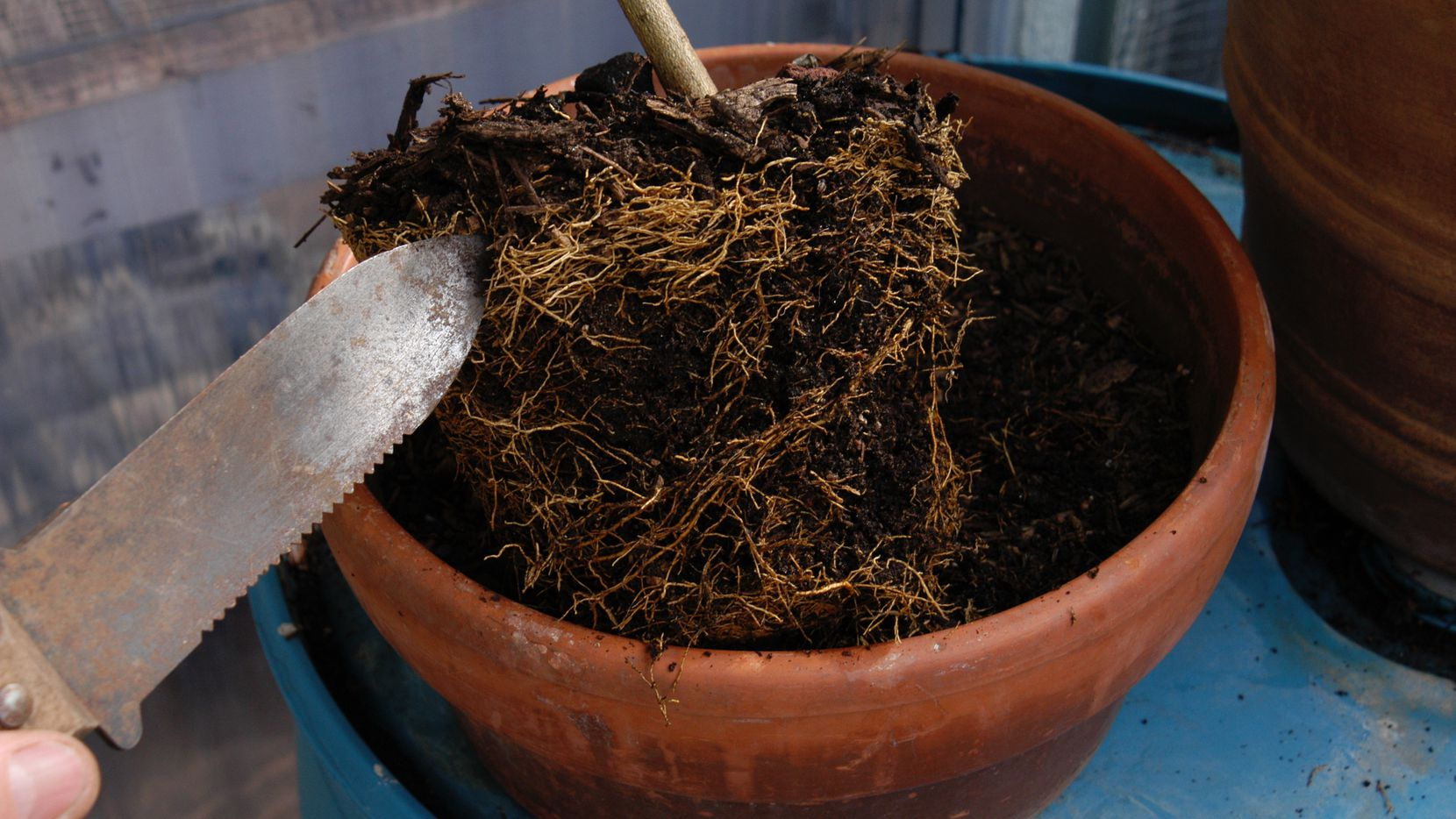 A hori-hori knife can be used to loosen the tightly bound roots of container plants.