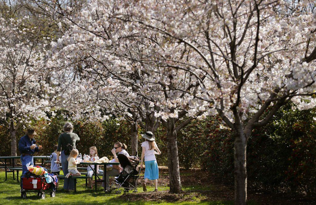 Cherry Trees Grace The Dallas Arboretum Dallas Arboretum And Botanical Garden Blog