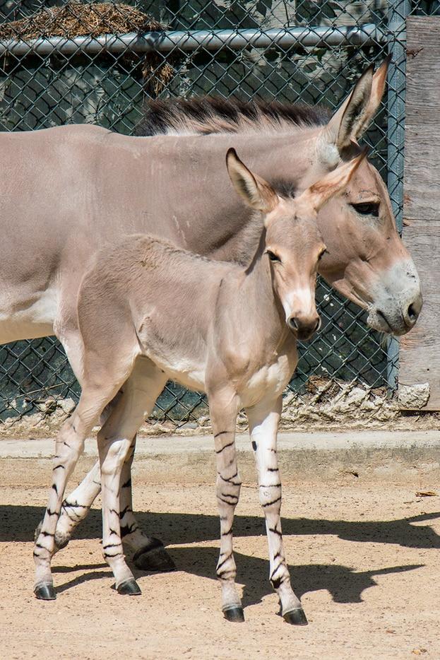 Naima behind-the-scenes exhibit at the Dallas Zoo. Kalila was born July 9 and Naima was born 10 days later.