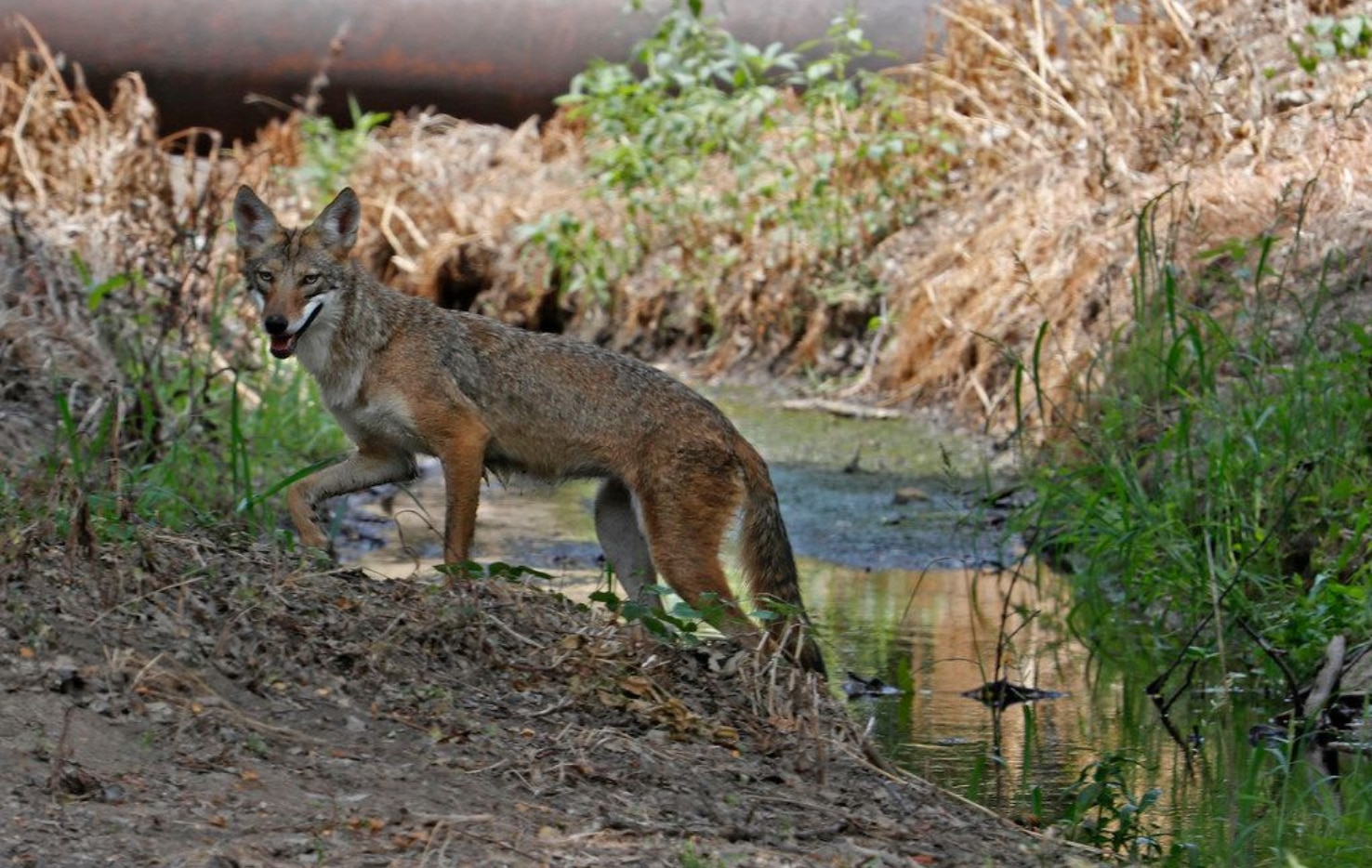 The Frisco Police Department emphasizes safe coexistence with the animals and promotes education as the best safety measure for potential interactions with coyotes.