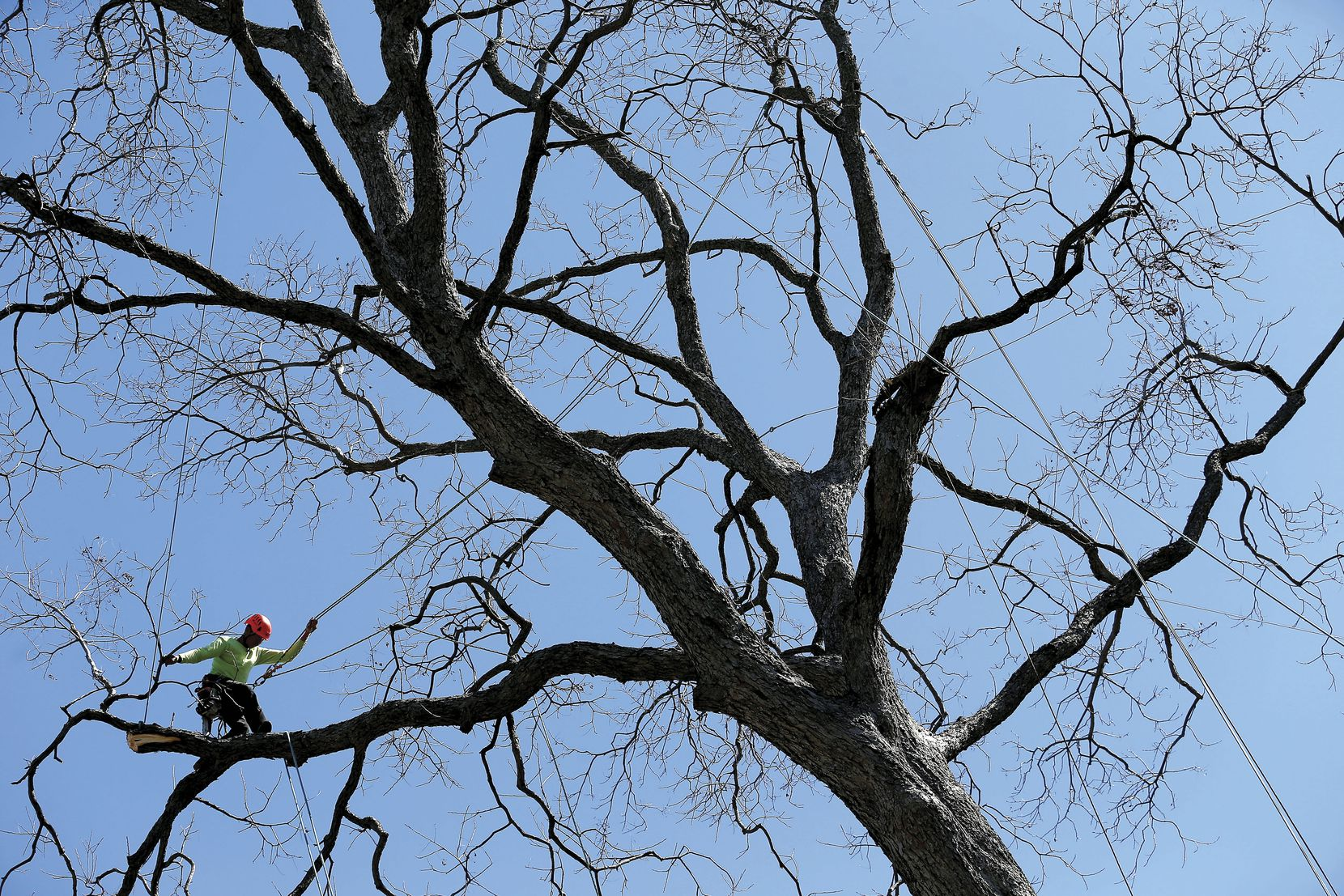 Foreman Miguel Pastenes, who works for Arborilogical Services, was perched in a pecan tree near Fernald Avenue and Dixfield Drive in Dallas on March 3. In April, Pastenes placed second in his category in the International Tree Climbing Competition in San Antonio.