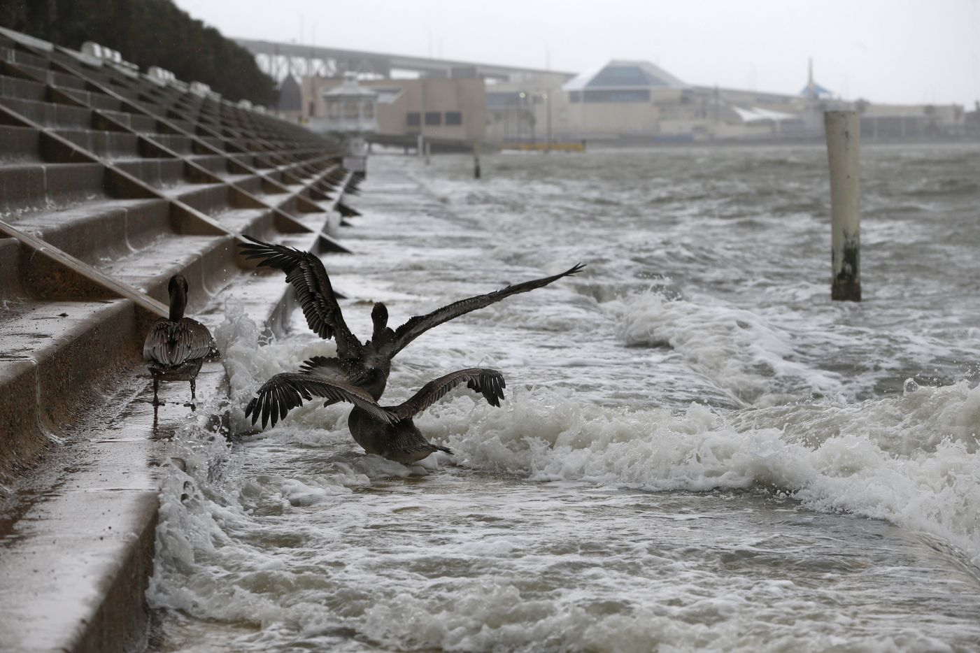 Pelicans battle the wind and waves as Hurricane Harvey hits Shoreline Blvd. in  Corpus Christi, Texas on Aug. 25, 2017.