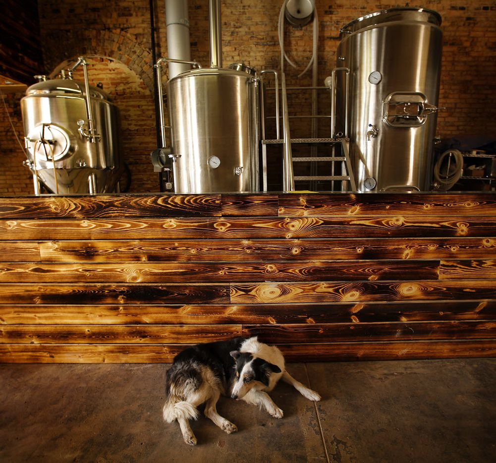 Addie, a border collie, rests in the brewery portion of Intrinsic Smokehouse & Brewery which is being renovated in a 1910 building on the downtown Garland square.