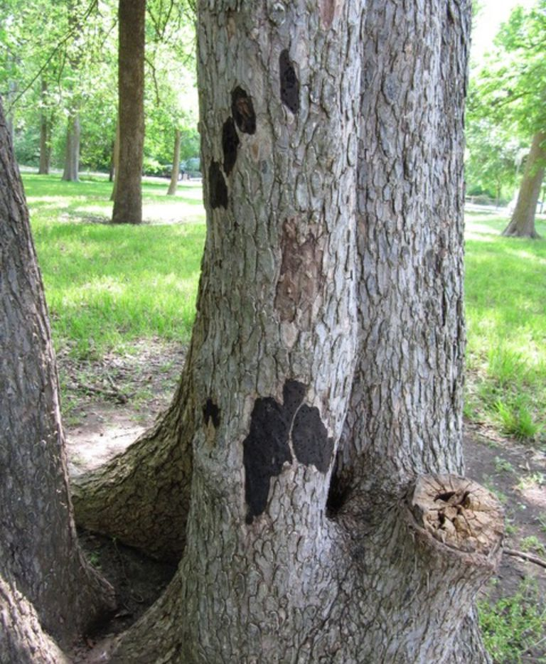 Hypoxylon canker in trees is caused by an opportunistic fungus, Hypoxylon atropunctatum.