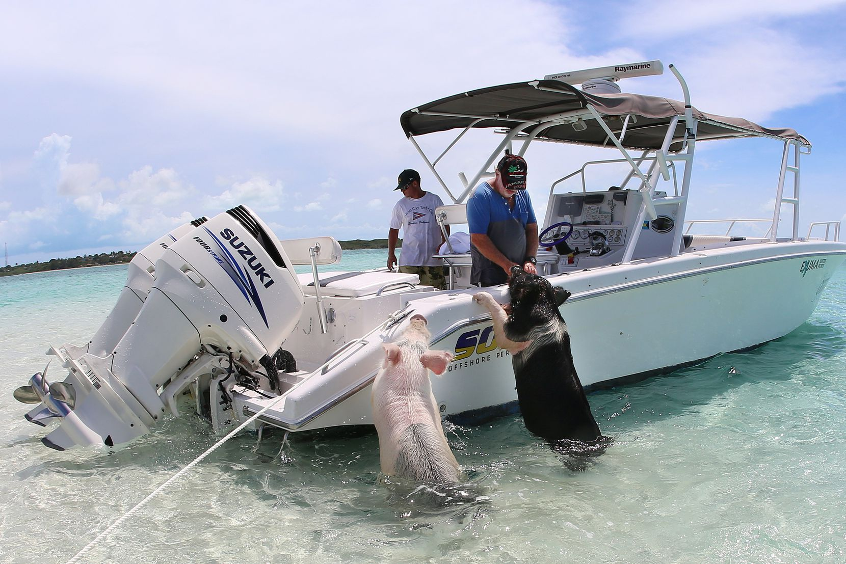 Tour boat captains know the pigs are their meal ticket. The pigs often get some food out of the deal, as well.