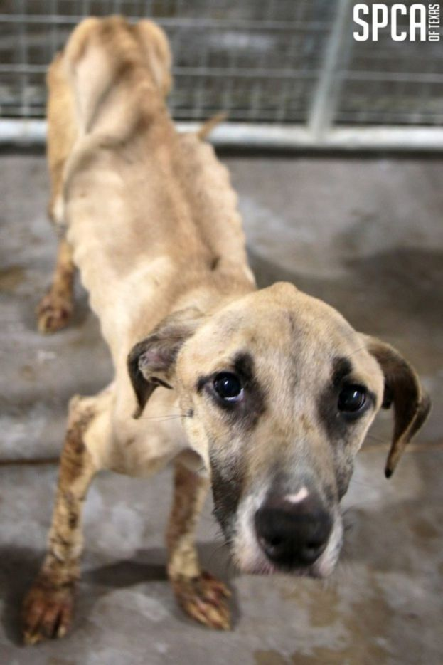 Dakota and Kinzler were recovered from a northwest Dallas apartment Feb. 25 2019, and sent to the SPCA. (SPCA