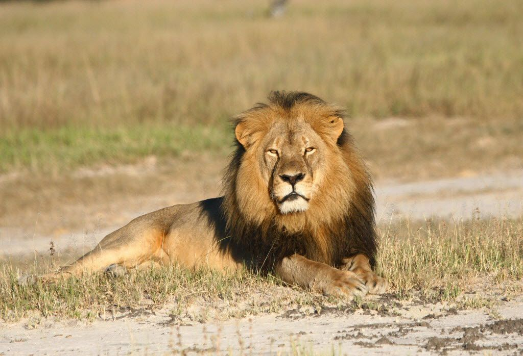 In this undated photo provided by the Wildlife Conservation Research Unit, Cecil the lion rests in Hwange National Park, in Hwange, Zimbabwe. His death during an illegal hunt spurred new protections for lions from Africa through the Endangered Species Act.