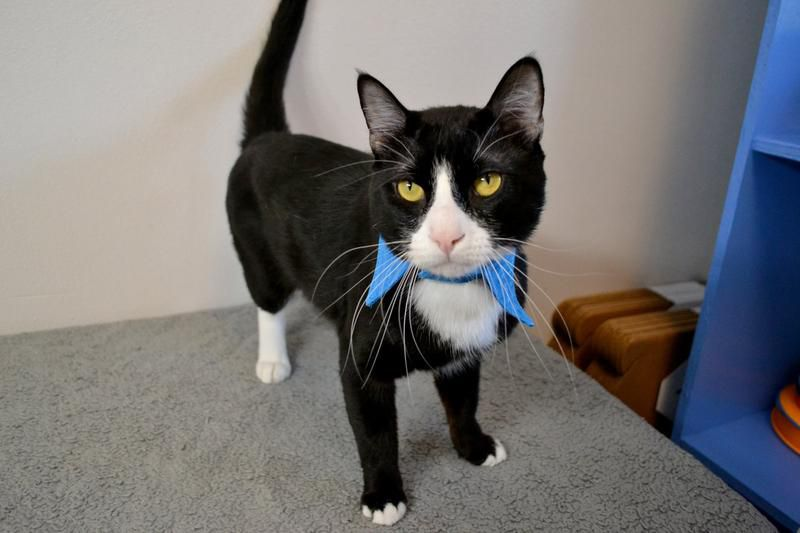 Green Bean, a cat available for adoption in Collin County