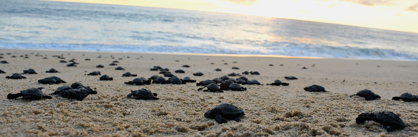 In fall and winter, volunteers release hatchling sea turtles on a beach in Todos Santos, Mexico.